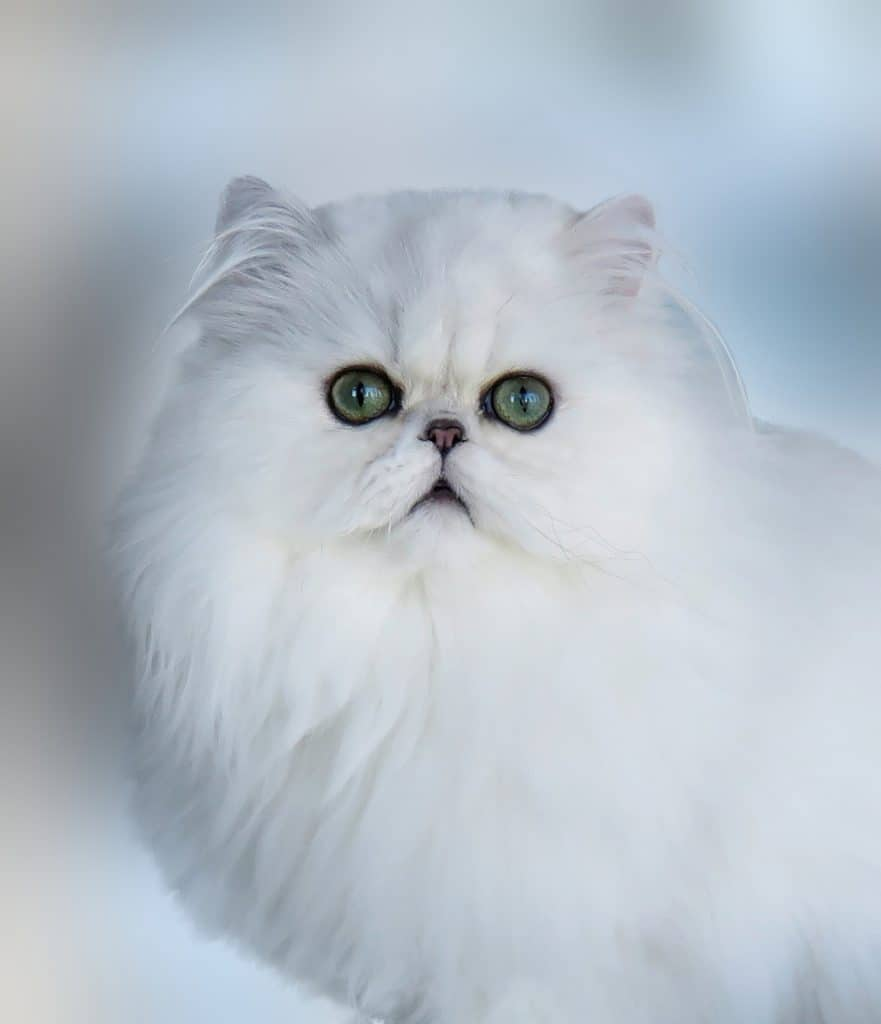 Persian Cat Breeders Websites