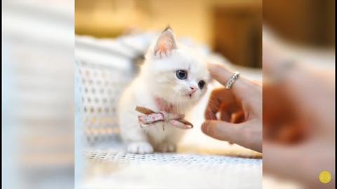 Munchkin Cat Breeders: Indiana - KittySites.Com