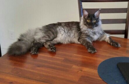 Maine Coon Cat Breeders Websites Kittysites Com