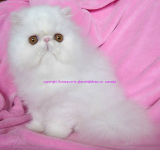 Oceanpurrls BiColor & Solid White Persians