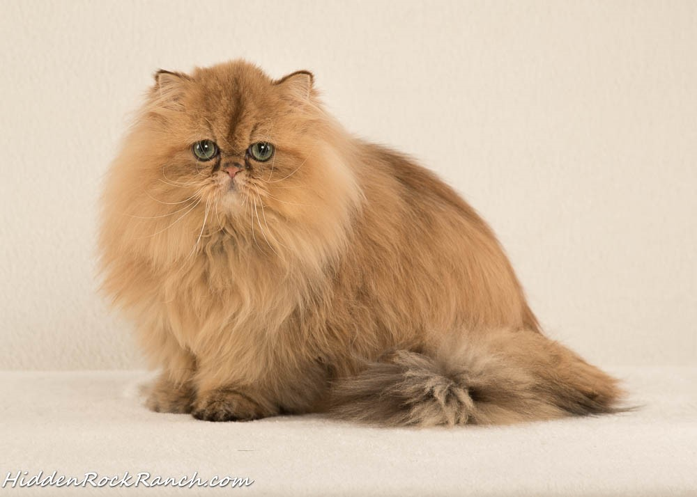 RB Cat House-Persians by Rhonda