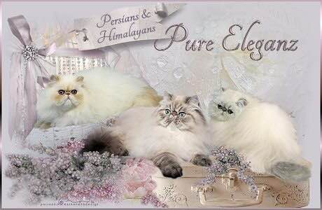 Pure Eleganz Persians
