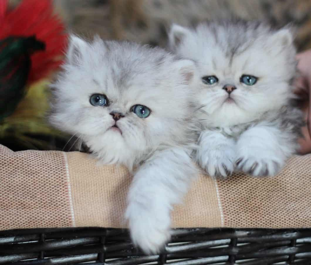 Persian Cat Breeders Websites | KittySites Com