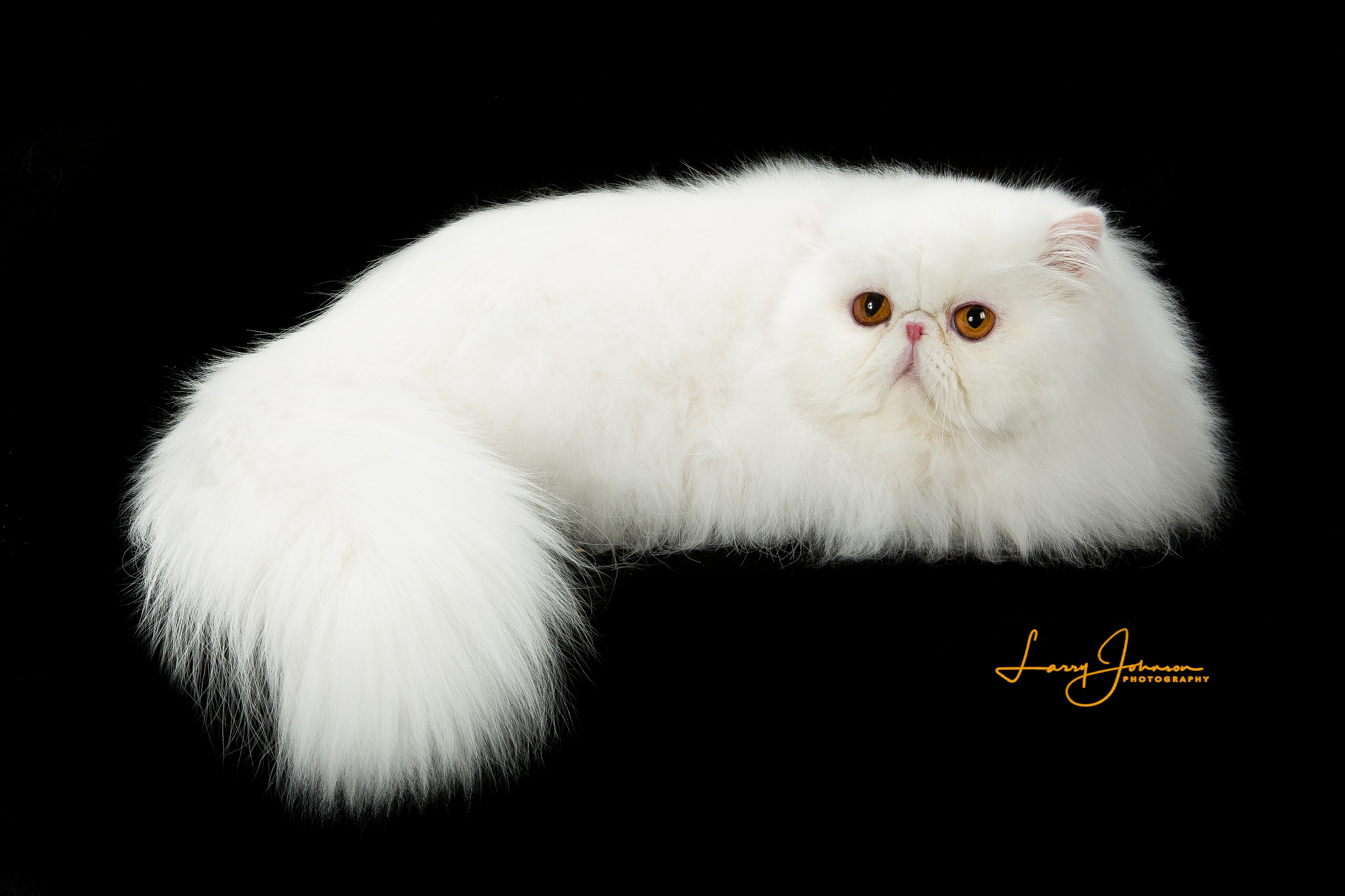Purrtopia Exotics and Persians