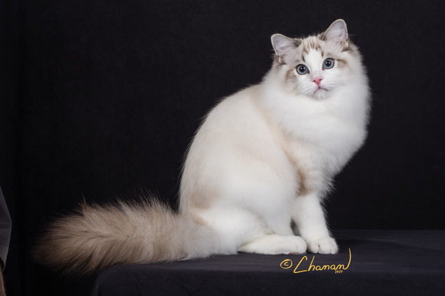 Dolly Ave Ragdoll