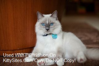 Ragdoll Cat Breeders: North Carolina | KittySites Com