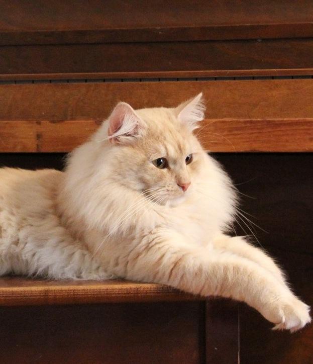 Rozhenitsa Siberian Cattery