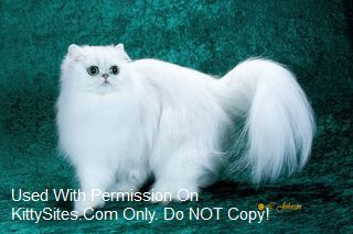 Persian Cat Breeders: Virginia | KittySites Com