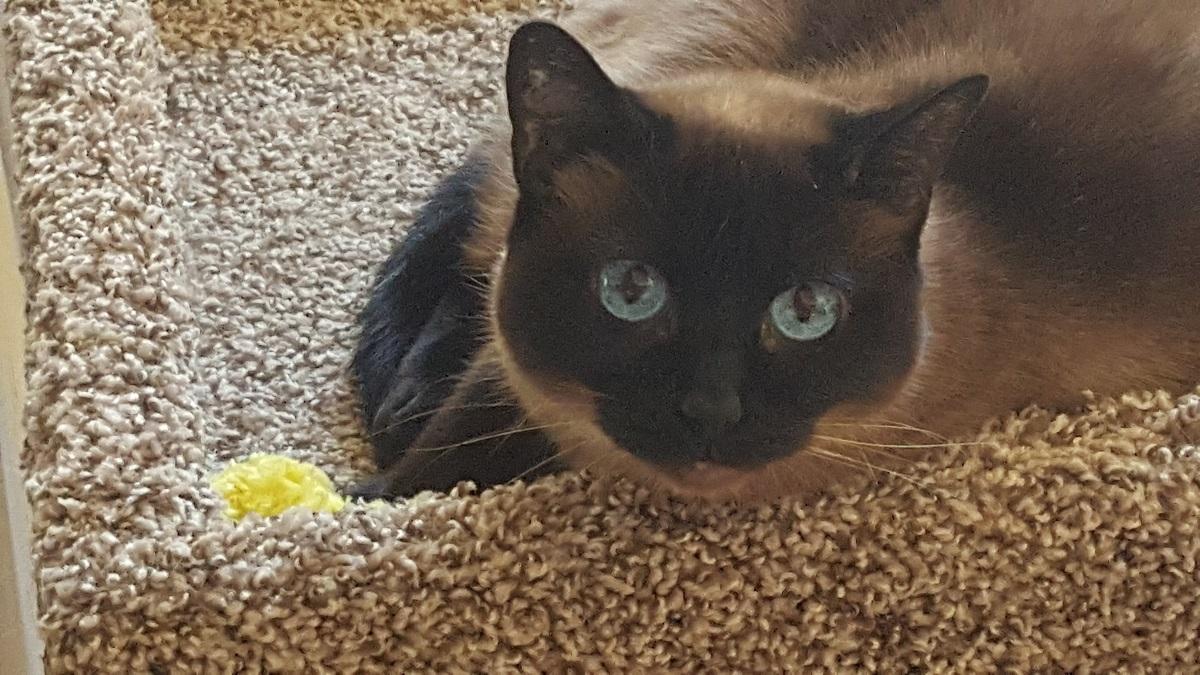 Siamese Cat Breeders Websites | KittySites Com