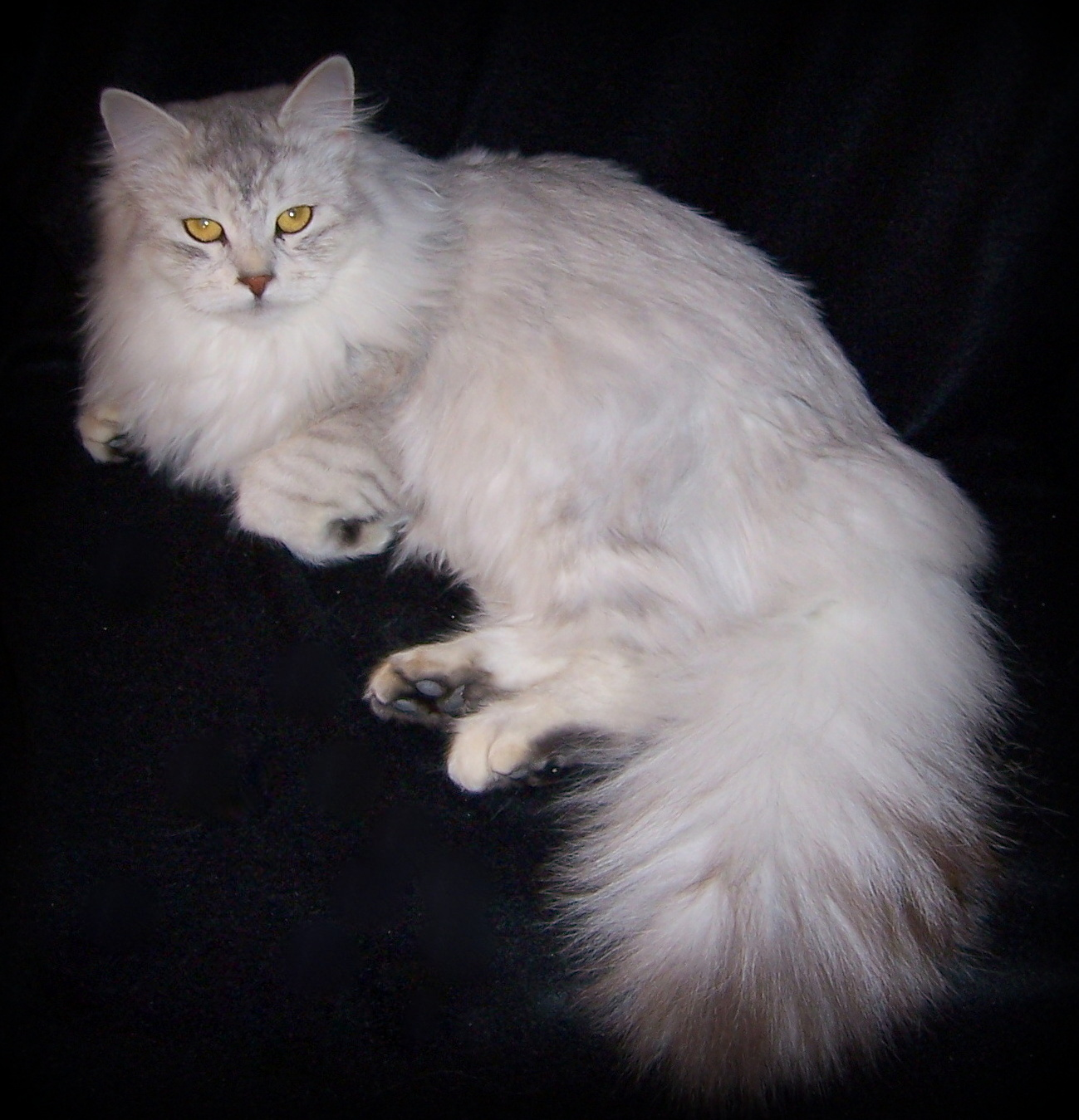 Siberian Cat Cat Breeders Websites | KittySites Com
