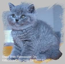 SilverBrook British Shorthair Cattery