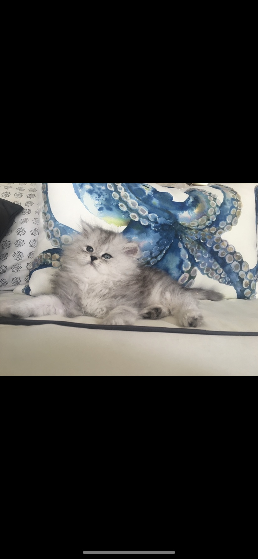 Silver Meows Cattery