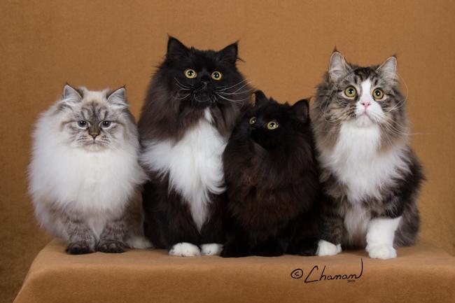 Sineglazka Siberian Cats