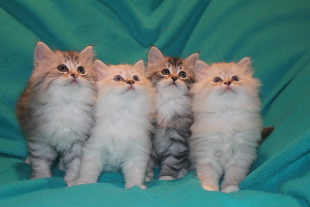 Sky Mountain Siberian Cats