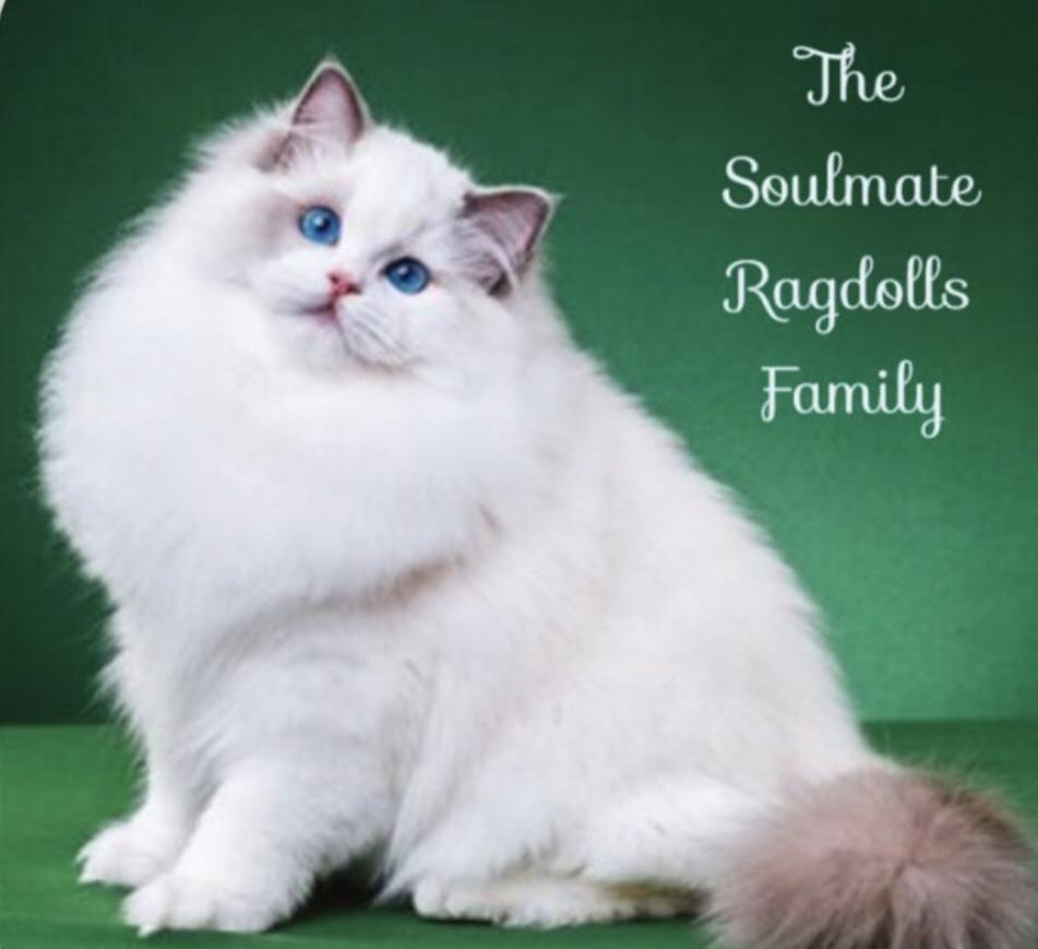 Soulmate Ragdolls