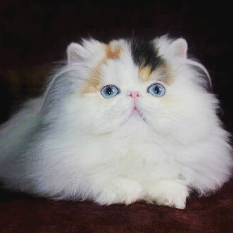 Persian Cat Breeders: Texas | KittySites Com