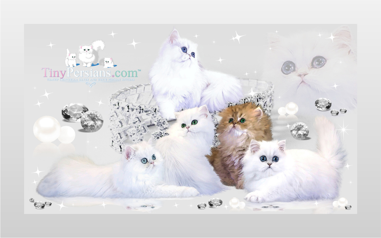 Chinchilla persian kittens for sale in nc