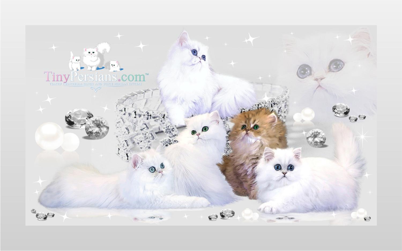 Texas Cat Breeders Websites | KittySites Com