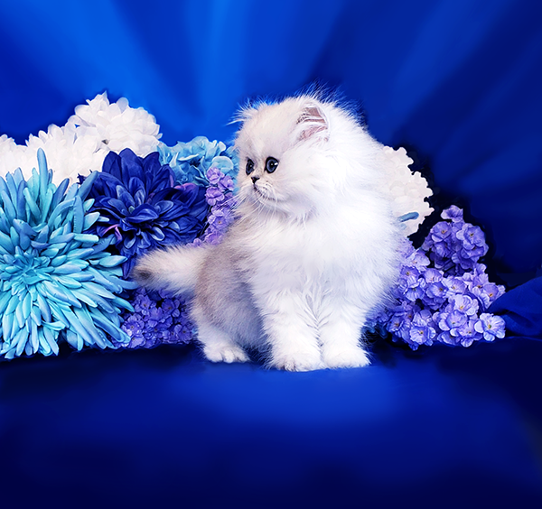 Persian Cat Breeders Websites | KittySites Com