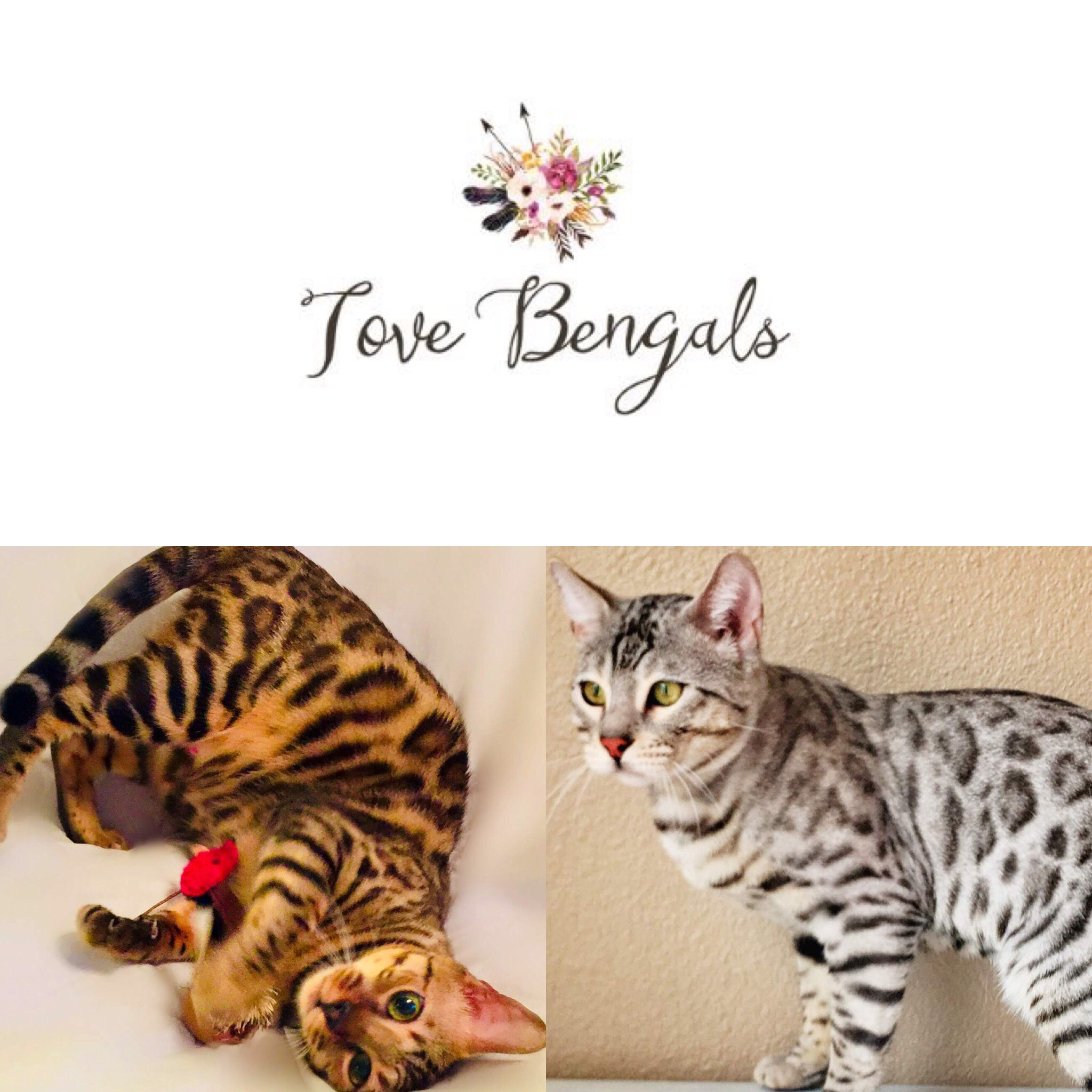Texas Cat Breeders Websites | KittySites Com