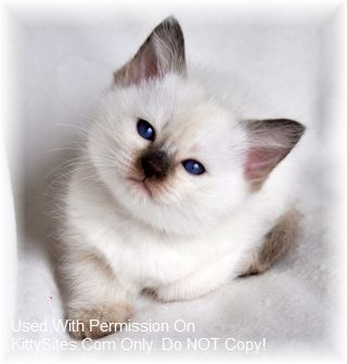 Siamese Cat Breeders California Kittysites Com