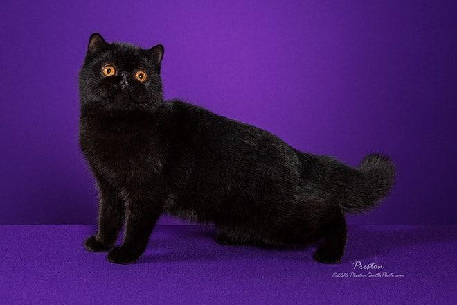 Exotic Shorthair Cat Breeders Websites | KittySites Com