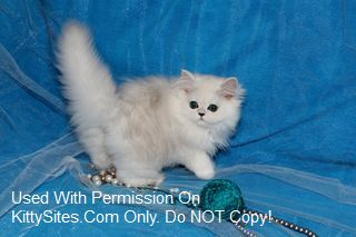 Persian cats for sale orange county ca