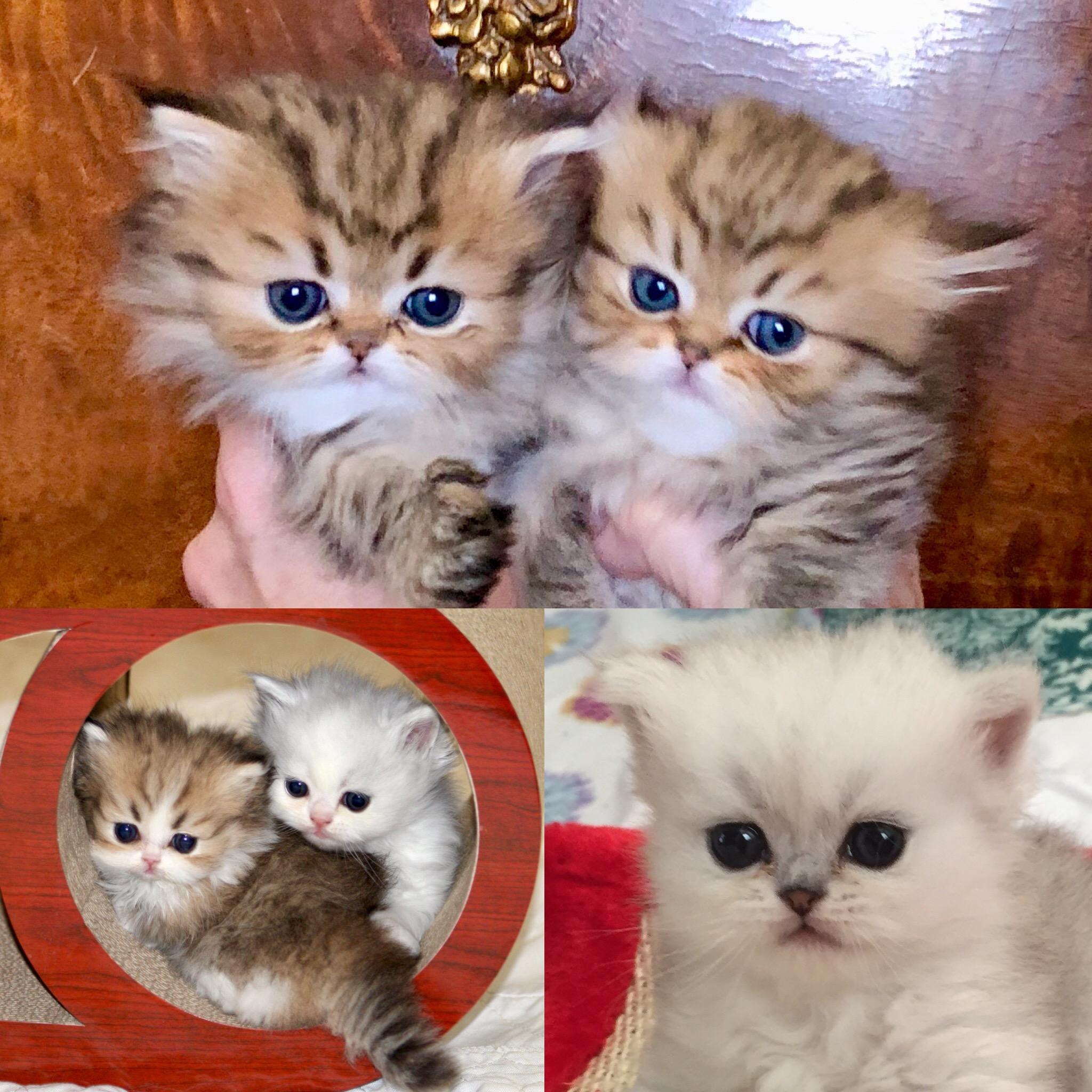 Kansas Cat Breeders Websites | KittySites Com